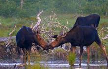 Nature: Maine moose