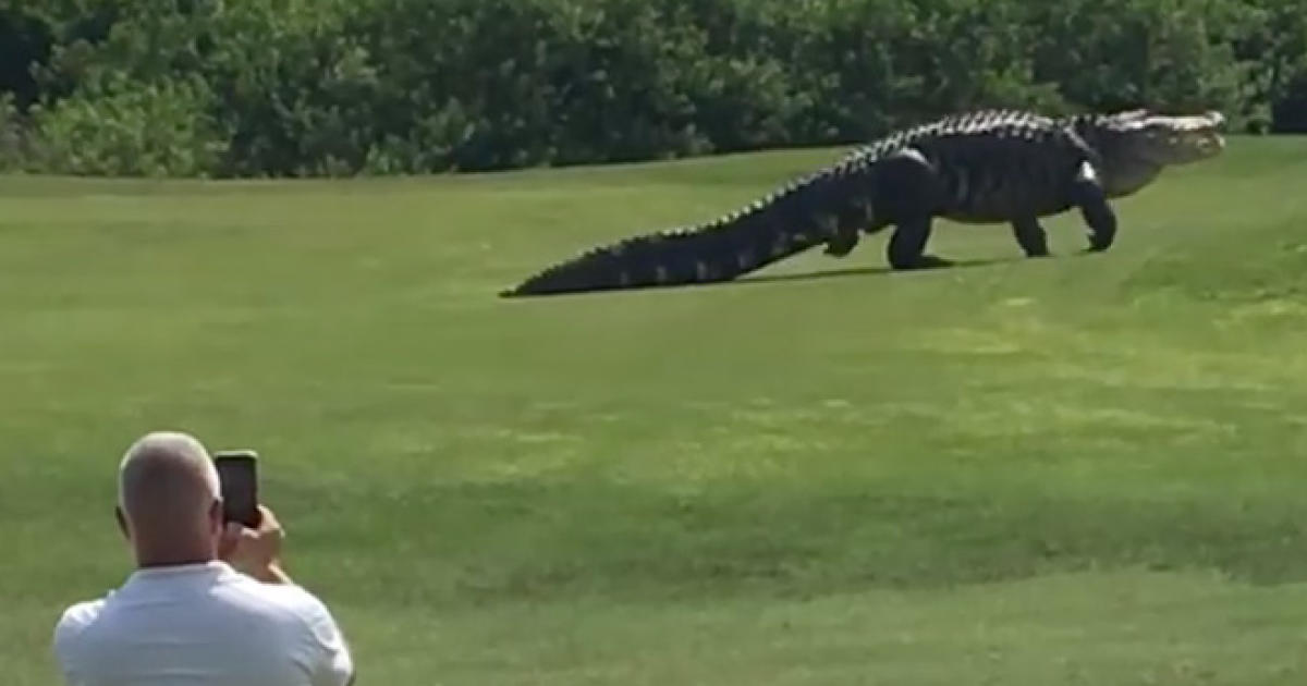 Giant Gator Is Par For This Florida Golf Course Cbs News