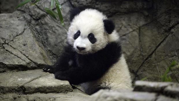 Giant panda Bei Bei turns one