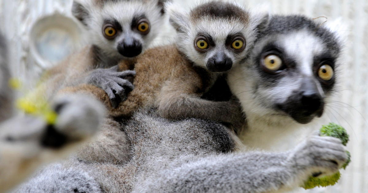 Extinction of lemurs would have huge implications for humans, scientists say