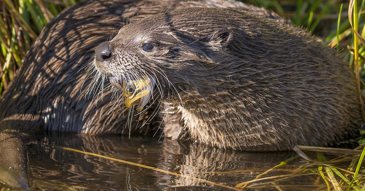 Nature Up Close Otters Of Trout Lake Cbs News