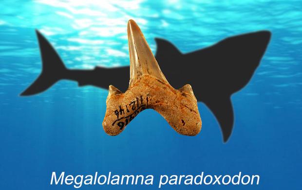 megalolamna-tooth.jpg