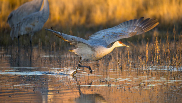 sandhill-crane-takes-off-from-water-promo.jpg