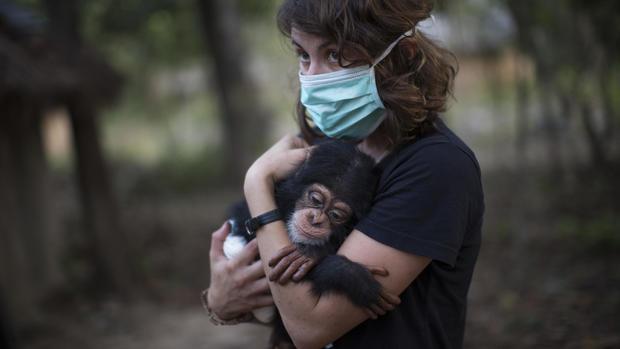 Baby chimpanzee Mussa bonds with pilot on rescue flight in