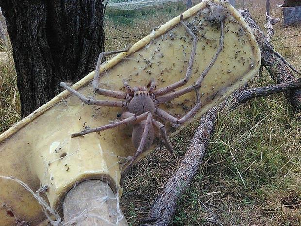 Terrifying Photo Of Giant Spider Nicknamed Charlotte Goes