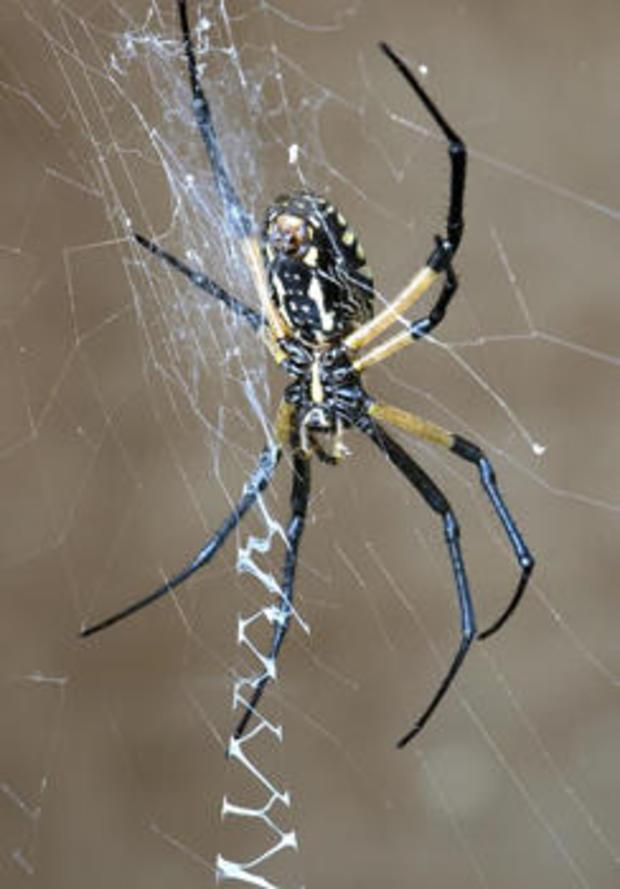 spider-golden-silk-orb-weaver-verne-lehmberg-244.jpg