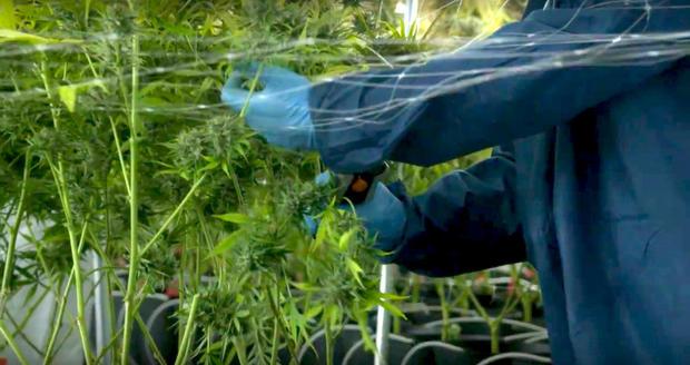 tilray-marijuana-plants.jpg