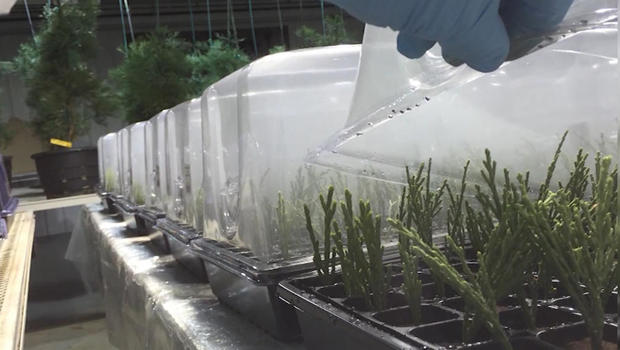 cloning-sequoia-trees-clippings-in-lab.jpg