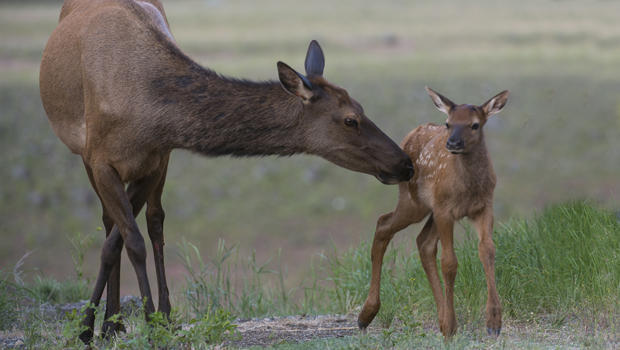 female-elk-with-baby-verne-lehmberg-620.jpg