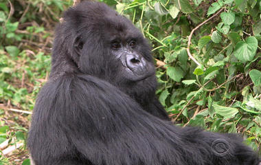 Climate change impacting Rwanda's endangered mountain gorillas