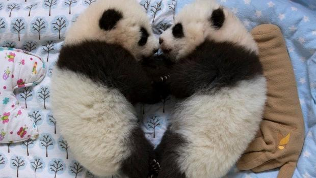 zoo atlanta s twin panda cubs to get named by public   cbs
