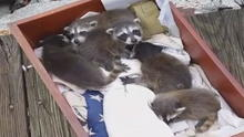 8-baby-raccoons-on-sequoia.jpg
