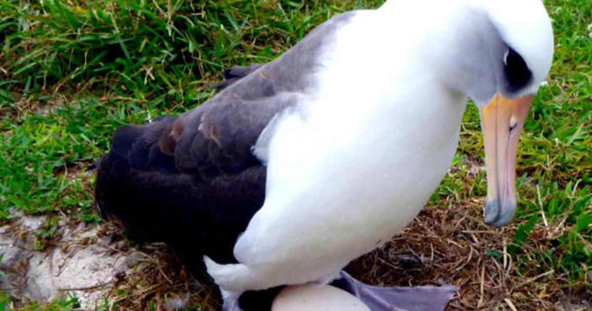 66-Year-Old Albatross Pregnant - Again - Videos - Cbs News-1975