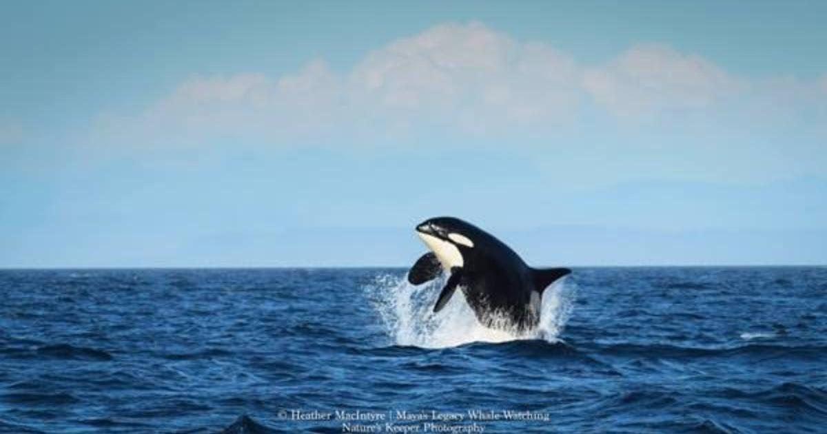 Granny Worlds Oldest Known Puget Sound Orca Whale