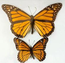 monarch-and-viceroy-butterflies-verne-lehmberg-244.jpg