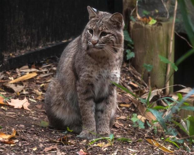 bobcat-ollie-national-zoo-escaped-2017-1-31.jpg