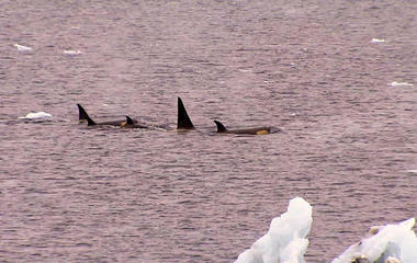 Drones used to study sick killer whales in Antarctica
