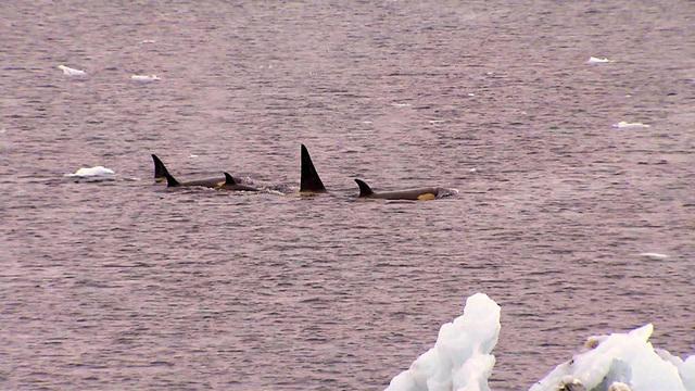 0214-ctm-antarcticakillerwhales-phillips-1251278-640x360.jpg