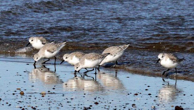 sanderlings-feeding-along-the-atlantic-coast-sherri-obrien-620.jpg