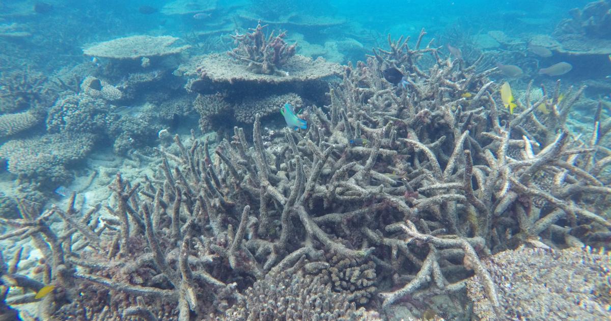 Great Barrier Reef Dying Australia Downgrades Health