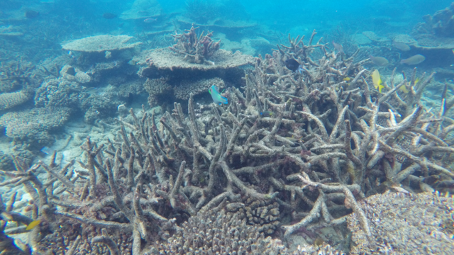 dead-staghorn-coral.png
