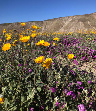 Anza borrego desert state park california super bloom anza borrego desert state park california super bloom spectacular spring flowers of 2017 pictures cbs news mightylinksfo