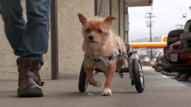 d2-tracy-wheelchair-dogs-transfer2.jpg