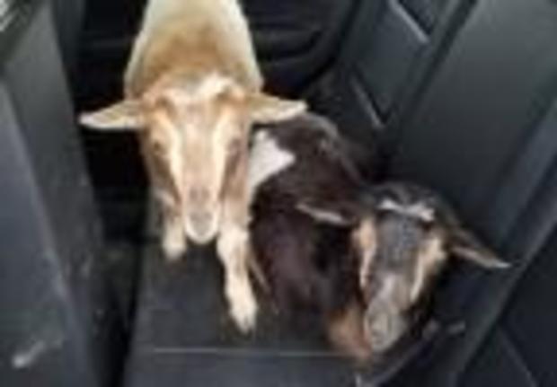 maine-goats-2-2017-4-23.jpg