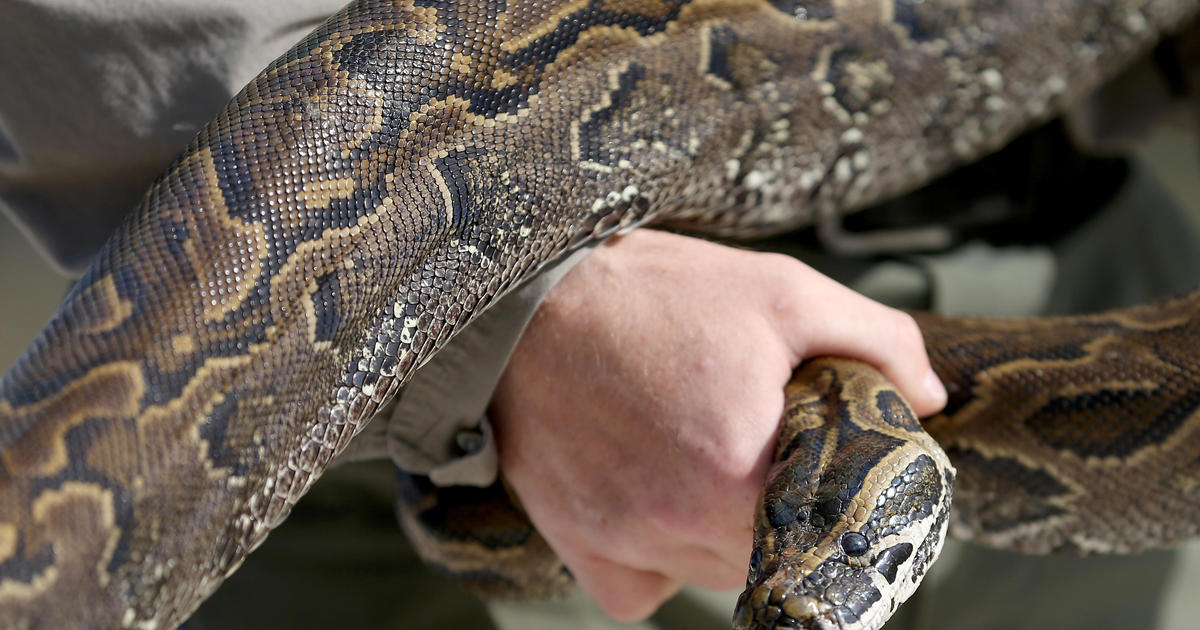 Rattlesnakes - Insane Snake Attacks Warning Graphic -9988