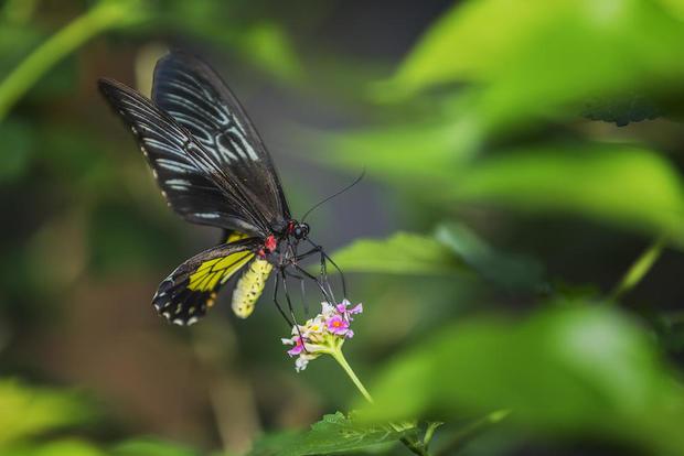 queen-alexandra-birdwing-shutterstock.jpg