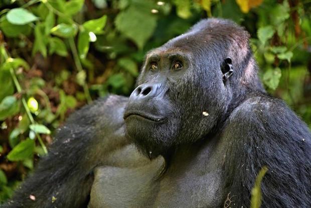 eastern-gorilla-shutterstock.jpg