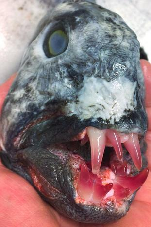 Crazy-looking fish from the deep sea