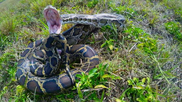 Python Problem Pay Hunters Cbs This Morning Cbs News