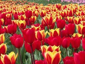 Nature: Tulips