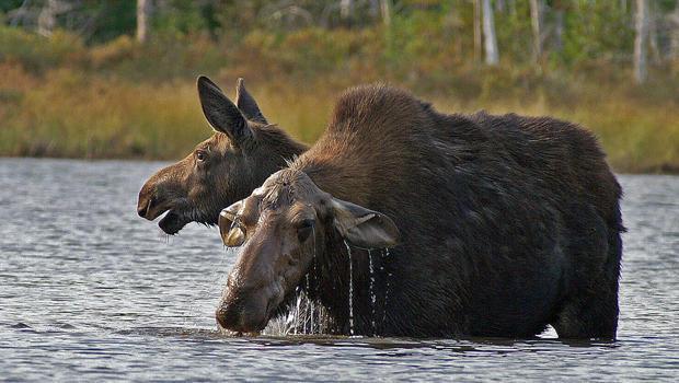 cow-moose-and-her-yearling-calf-eating-moose-muck-sherri-obrien-620.jpg