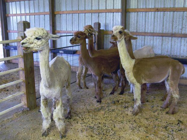 alpacas-2-promo.jpg