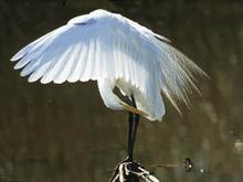 great-egret-wings-spread-verne-lehmberg-244.jpg
