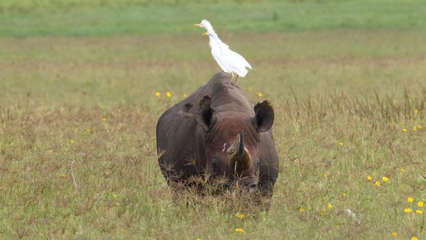 cattle-egrets-on-rhino-tanzania-marcy-starnes-620.jpg
