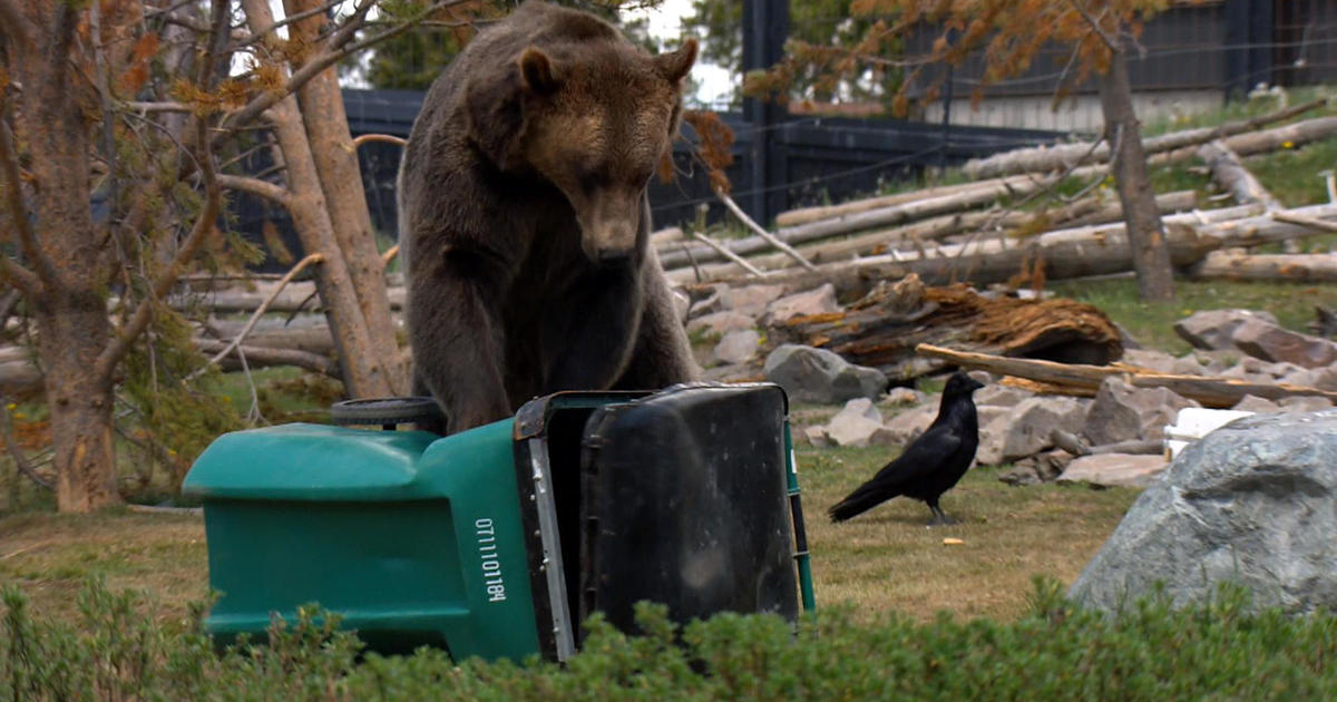 Grizzly Bears In Yellowstone Put Trash Cans And Coolers To