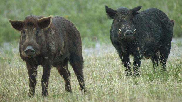 two-feral-wild-hogs-port-mansfield-620.jpg