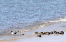 Nature: Horseshoe crabs