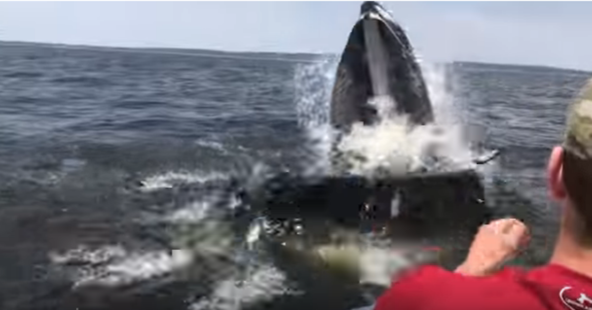 Humpback Whale Breaches Super Close To Boat Off New Jersey