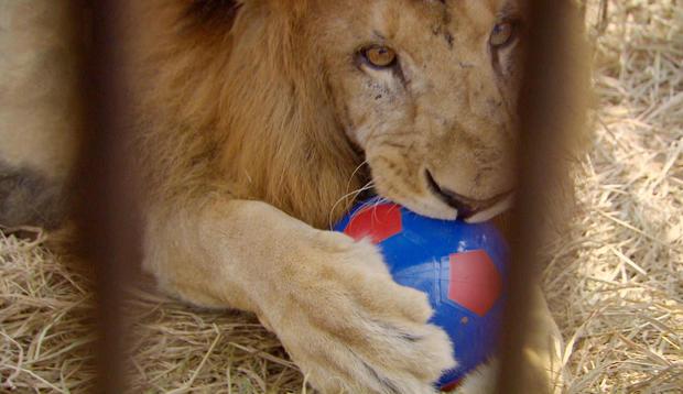 lion-main.jpg