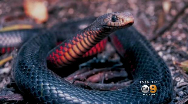 venemous-snake.png