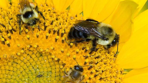 bees-with-flower-verne-lehmberg-620.jpg