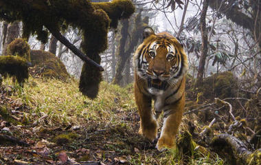 New images of endangered Bengal tigers in Bhutan
