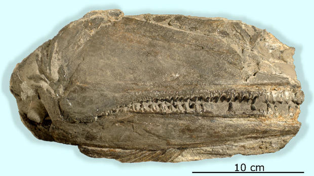 A 26-centimeter-long fossil has preserved the right side of a skull of the newly discovered fish species Birgeria americana.