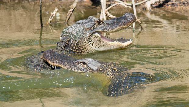 american-alligators-verne-lehmberg-620.jpg