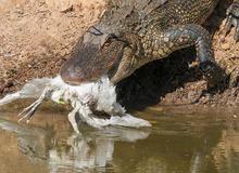 alligator-with-egret-verne-lehmberg-promo.jpg