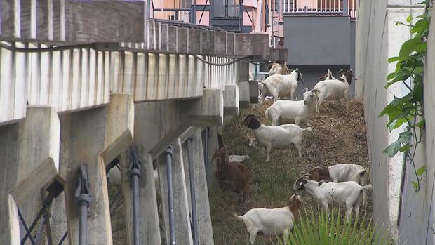 ctm-083117-goats-below-railway.jpg